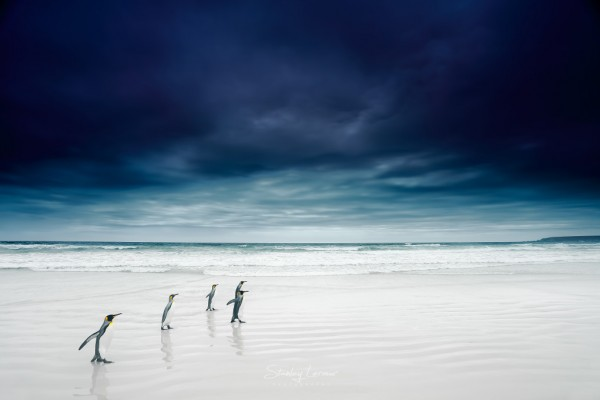 Penguins Photographed by Stanley Leroux from France