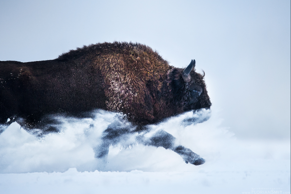 Bison in the Snow - Photographed by Florian Smit